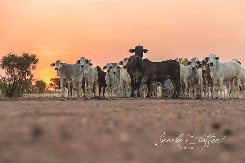 A mob of brahmans gathered near a trough in the Victoria River Downs country, Northern Territory. If you can be patient enough, and are willing to lie on your stomach on the ground, brahmans will almost ALWAYS approach!