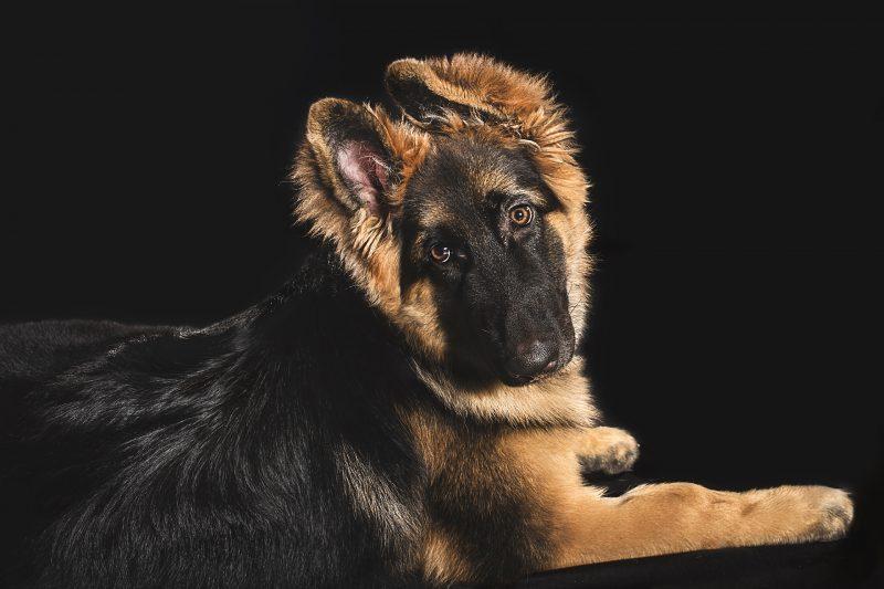Studio pet photography with Gold Coast German Shepherd puppy, Luna.